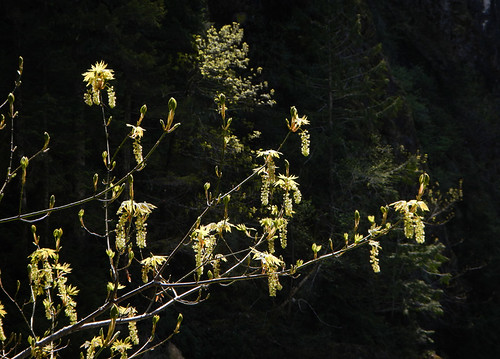 Spring catkins at Sooke Potholes Park on Vancouver Island, Canada