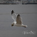 Herring Gull, Dinner 6
