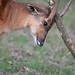 Sitatunga woz 'ere by Wildlife Online