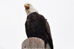 Bald Eagles - 2019