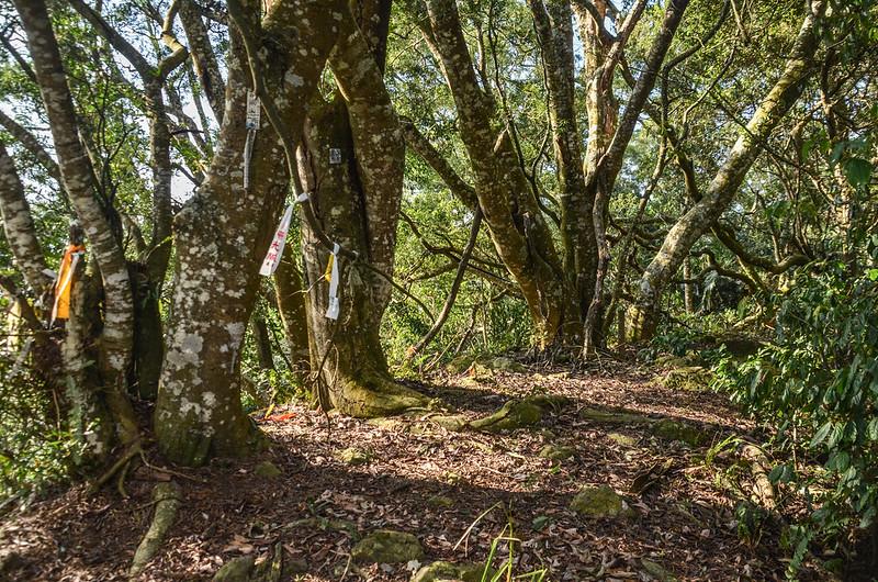 千兩山巨木 2