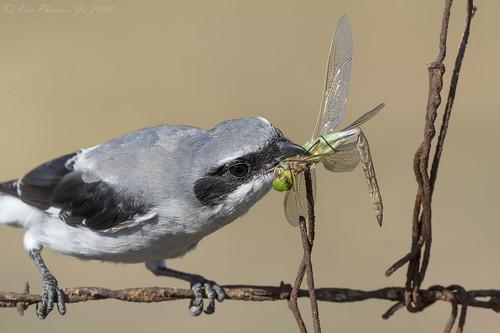 Loggerhead Shrike Impaling Dragonfly