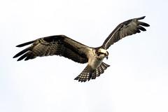 Osprey hovering...6O3A8956CR2A
