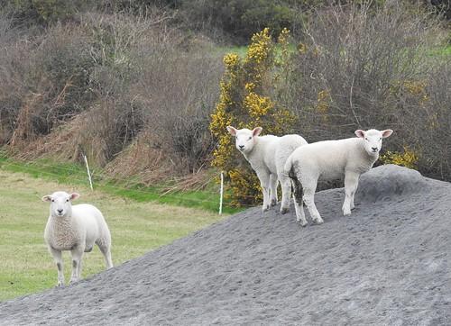Three Wary Irish Lambs