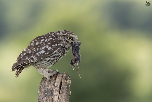 Mocho-galego, Little Owl (Athene noctua))