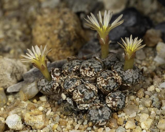 Conophytum comptonii
