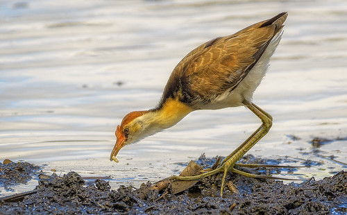 another comb-crested jacana