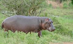 Hippo (Hippopotamus amphibius) out for dinner ...
