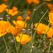 Eschscholzia californica, 4.18.18