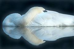 Pale Glider