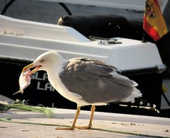 Opportunist Yellow-legged Gull. Larus cachinnans  ssp michahellis