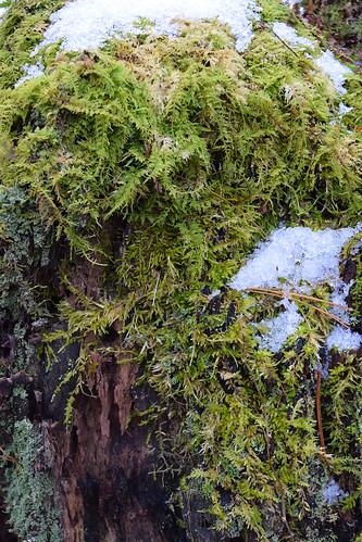 Ridgeway Pine Relict