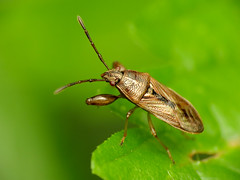 Pachygronthid Bug