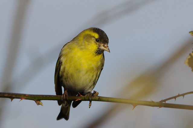 K32P9203a Siskin, Lackford Lakes, January 2019