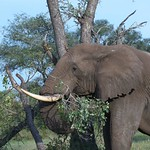 Elephant – South Africa