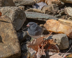 Slate-colored Junco or Dark-eyed Junco (Junco hyemalis hyemalis) (DSB0337)