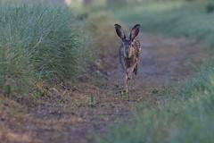 Lièvre d'Europe - Lèbre - European hare - Lepus europaeus