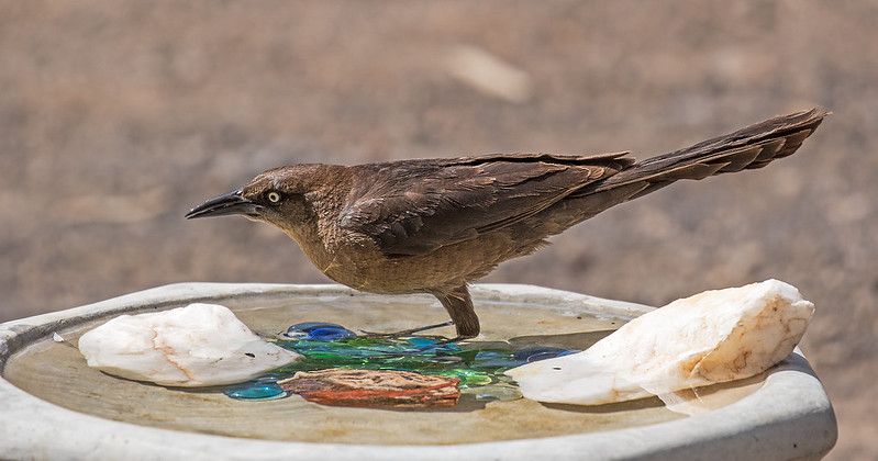 Great-Tailed-Grackle-27-7D2-052117