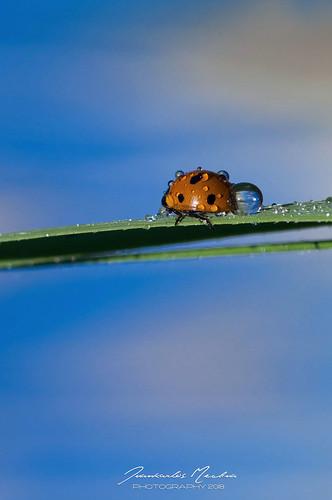Mariquita siete puntos- Ladybug