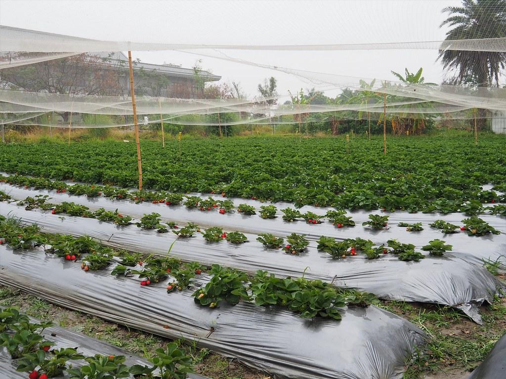 善化大安草莓 (11)