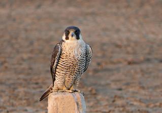 Halcón Peregrino, Peregrine Falcon (Falco peregrinus)