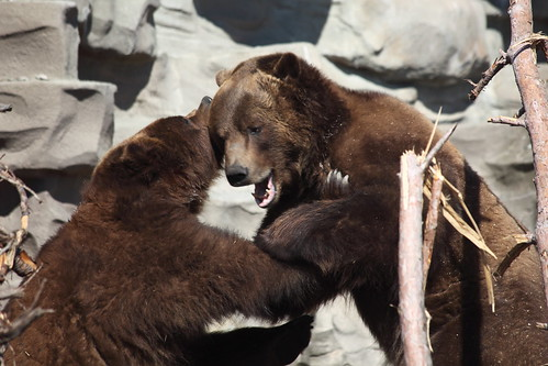 Grizzly Bears 03