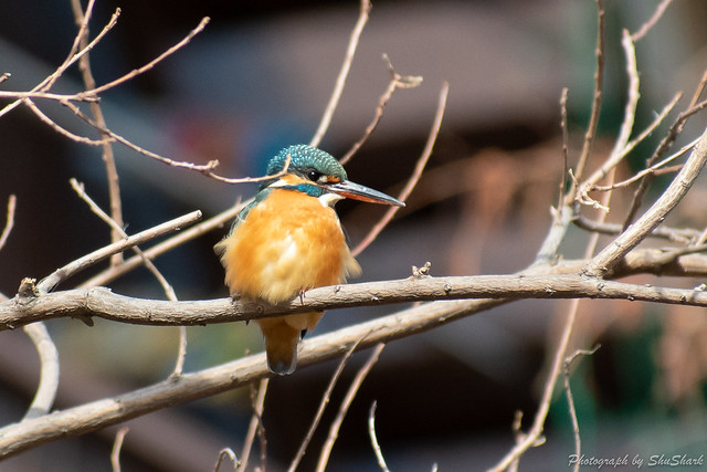 20190210-kingfisher-DSC_1191