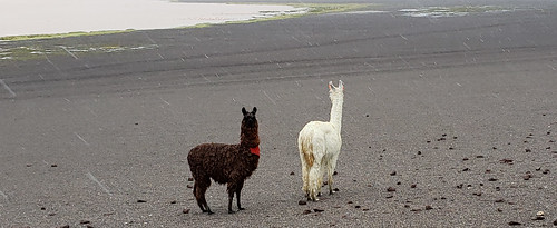 Llamas, the Red Lagoon (Laguna Colorada), Altiplanos Bolivianos (Bolivian Highlands), Potosí, Bolivia.