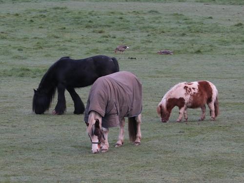 New Shaggy Pony