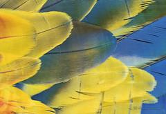 Plumas Lapa roja -  Scarlet macaw
