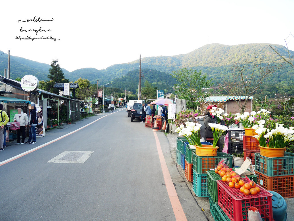 台北陽明山海芋季竹子湖交通怎麼去海芋大道 (2)