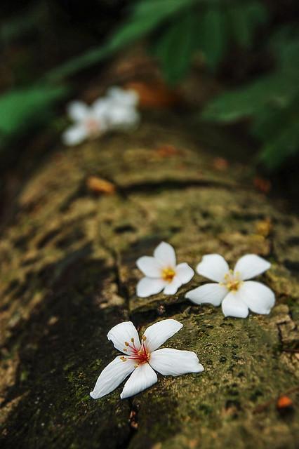笠頂山油桐花 7