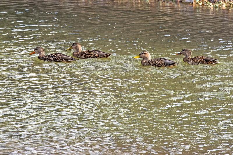 Mallards-Ducks-35-7D2-112918