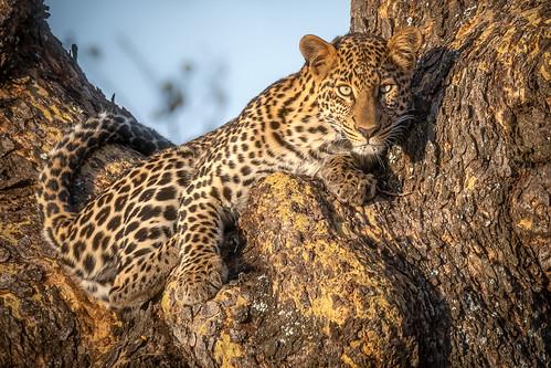 Bold Lady Leopard