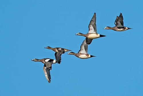 Some Wigeons | by lennycarl08