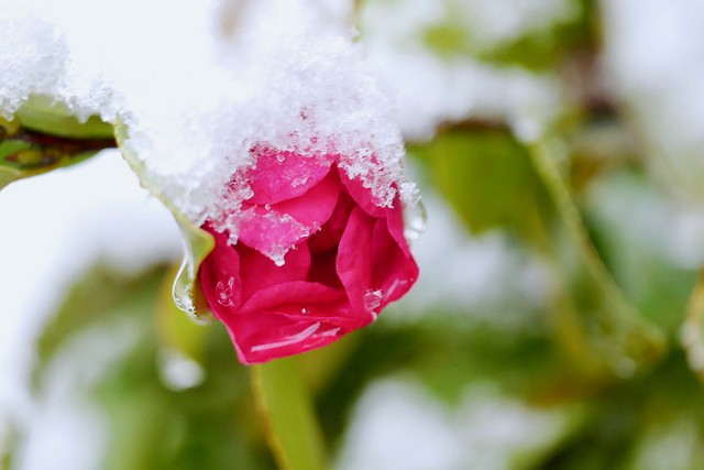 Camellia in snow, Panasonic DMC-GX7MK2, Leica DG Macro-Elmarit 45mm F2.8 Asph. Mega OIS