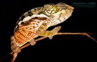 Panther chameleon (Furcifer pardalis) - 20180919_172622-01