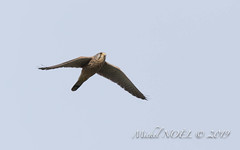 Faucon crécerelle - Falco tinnunculus - Common Kestrel : Michel NOËL © 2019-2242.jpg - Photo of Créteil