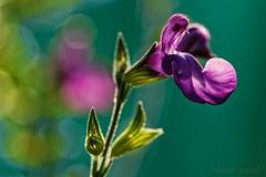 Purple shrub sage - Sauge arbustive violette - Photo of Sabadel-Latronquière