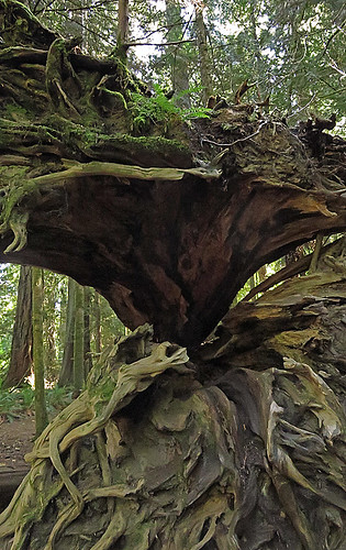 Roots of a fallen tree in the first-growth forest of Cathedral Grove on Vancouver Island, Canada