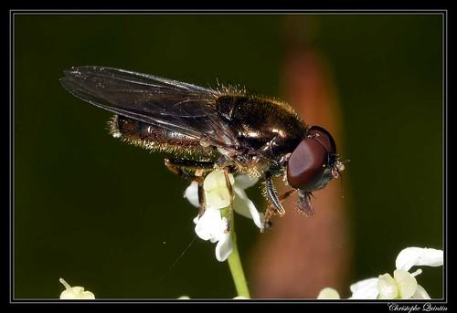 Cheilosia pagana mâle