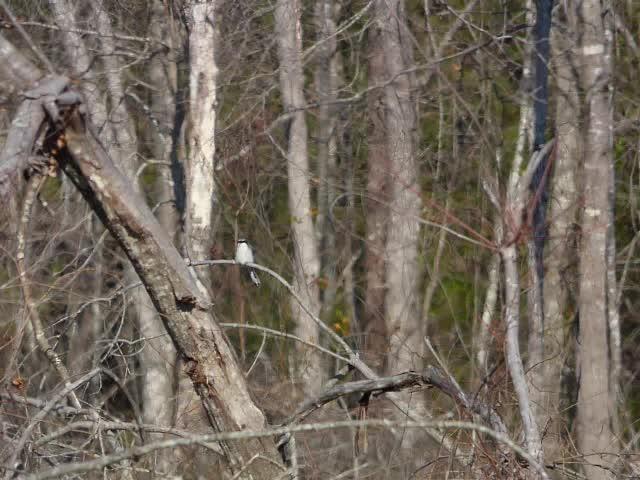 loggerhead shrike call