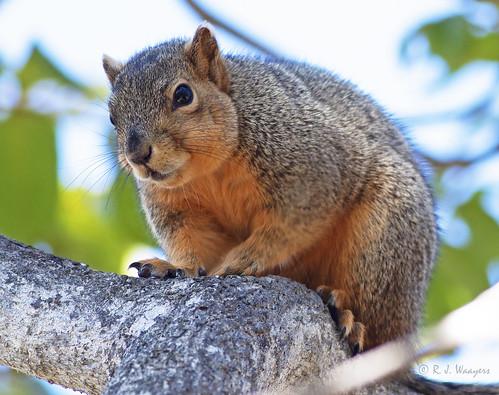 Eastern Fox Squirrel, Sciurius niger