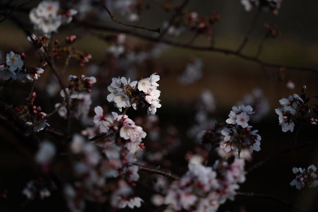 Sakura-2019_02