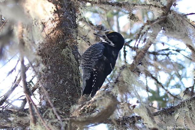 1.09892 Pic à dos noir (mâle) / Picoides arcticus / Black-backed Woodpecker