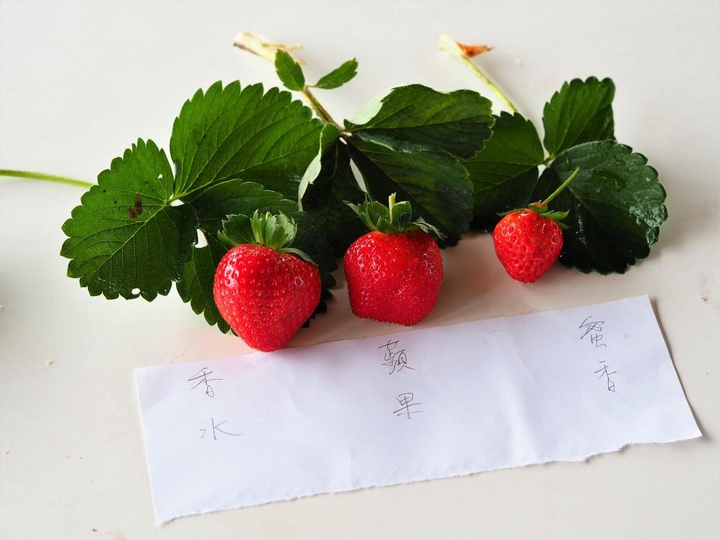善化大安草莓 (14)