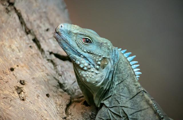 blue green lizard