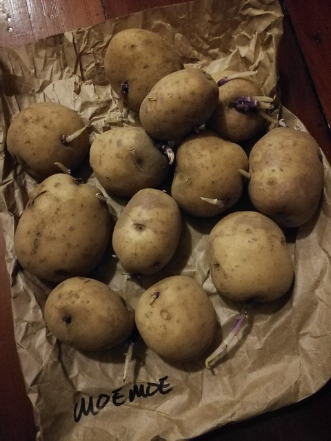 moemoe taewa potato seeds belonging to shiny
