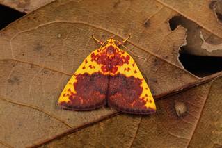 Nolid Moth (Siglophora sanguinolenta, Chloephorinae, Nolidae)