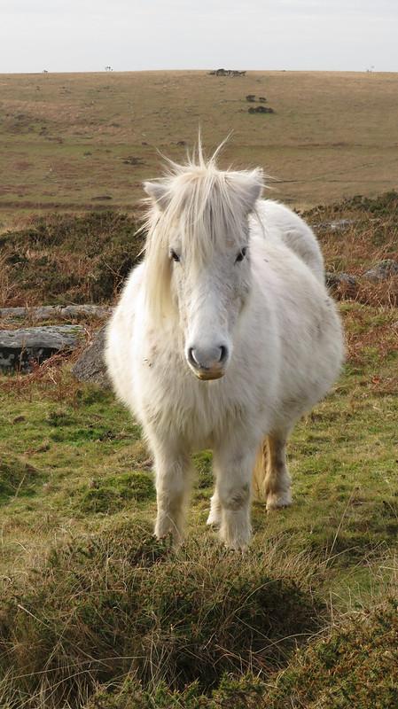 Pony below Little Staple Tor